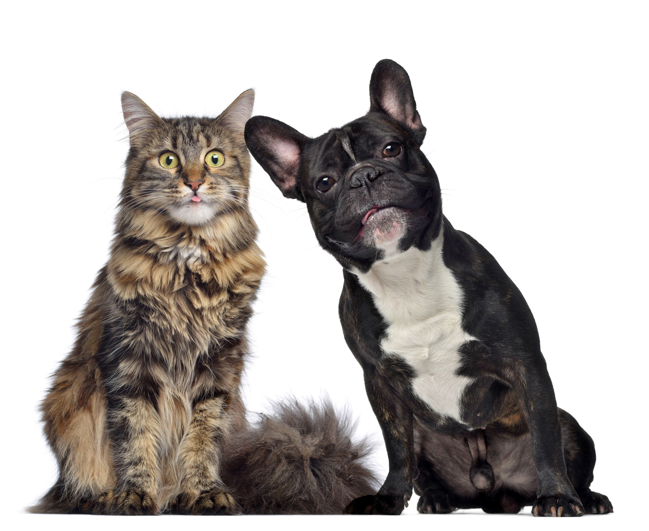 maine-coon-and-french-bulldog-sitting-next-to-PXVHVZX